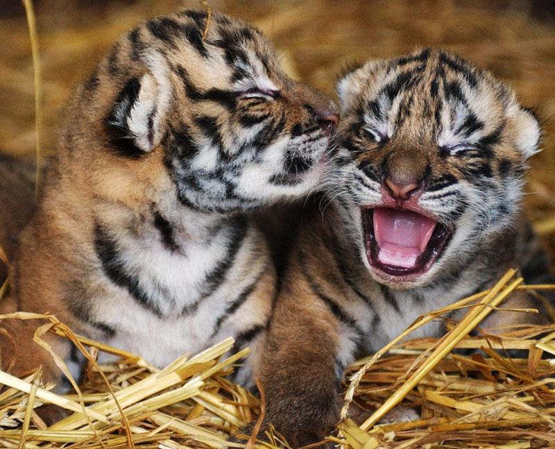 Tigrakia