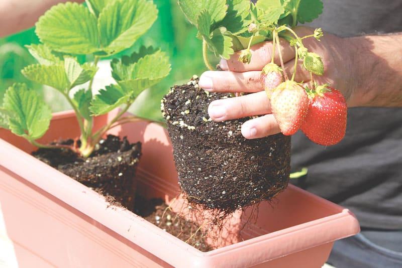 strawberries_gardening_01