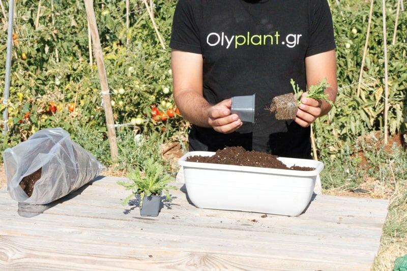 bio_xrysanthema fyteusi