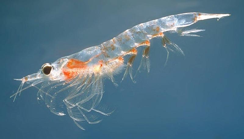 Κριλ, ένα θαλάσσιο πλάσμα μικροσκοπικό αλλά απίστευτα πλούσιο σε λιπαρά οξέα Ωμέγα-3-naturanrg