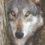 Ο «κακός λύκος» χρειάζεται προστασία!