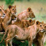 Σφαγιάστηκαν έξι σπάνια λιοντάρια στην Τανζανία