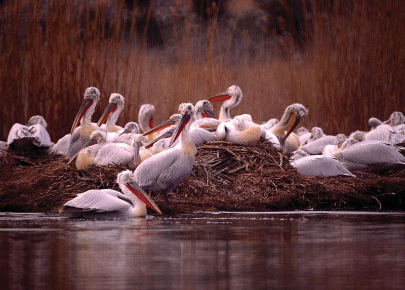 prespes_pelicans
