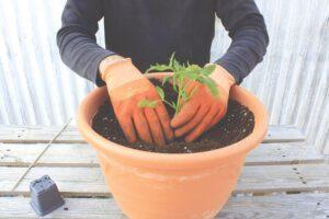 Βιολογική ευωδιαστή ντομάτα στη γλάστρα