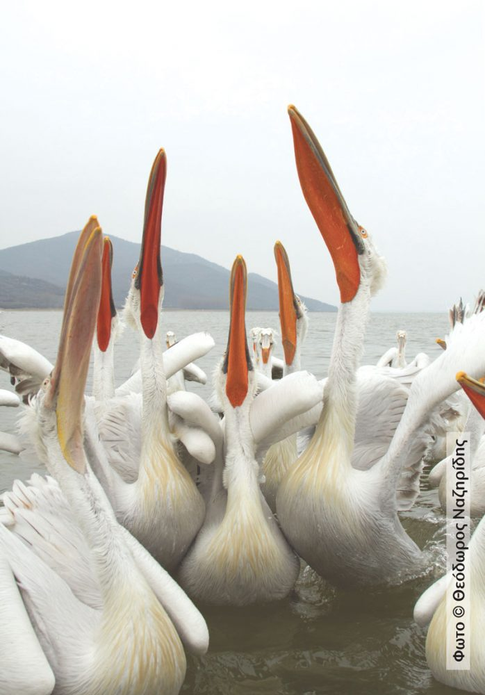 Pelicans-feeding101