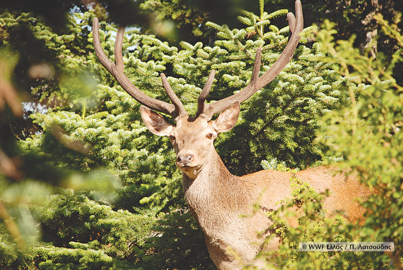 Red-deer_P-Latsoudis