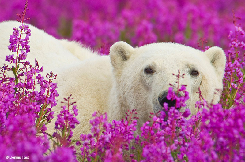 polar-bear-playing-flower-field