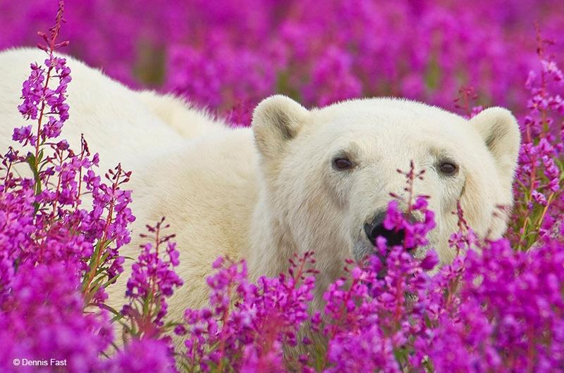 polar-bear-playing-flower-field