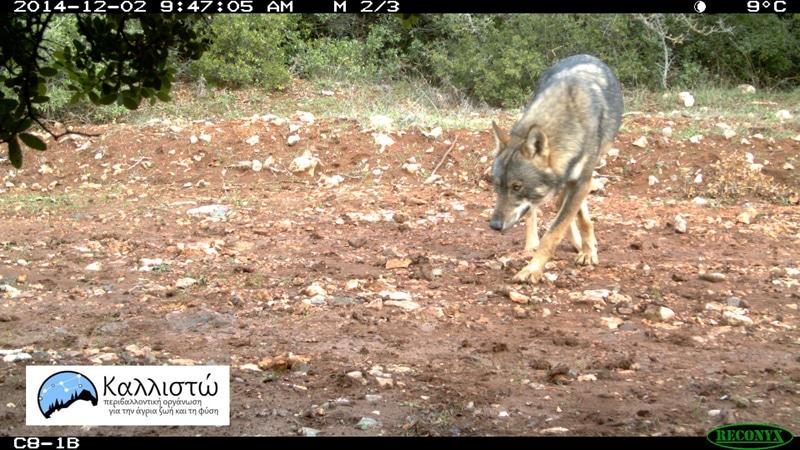 PARNITHA_WOLF - Επανεμφάνιση του λύκου στον Εθνικό Δρυμό της Πάρνηθας μετά από 50 χρόνια