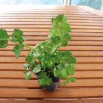 Πώς να φυτέψετε μυρωδικά σε γλάστρες