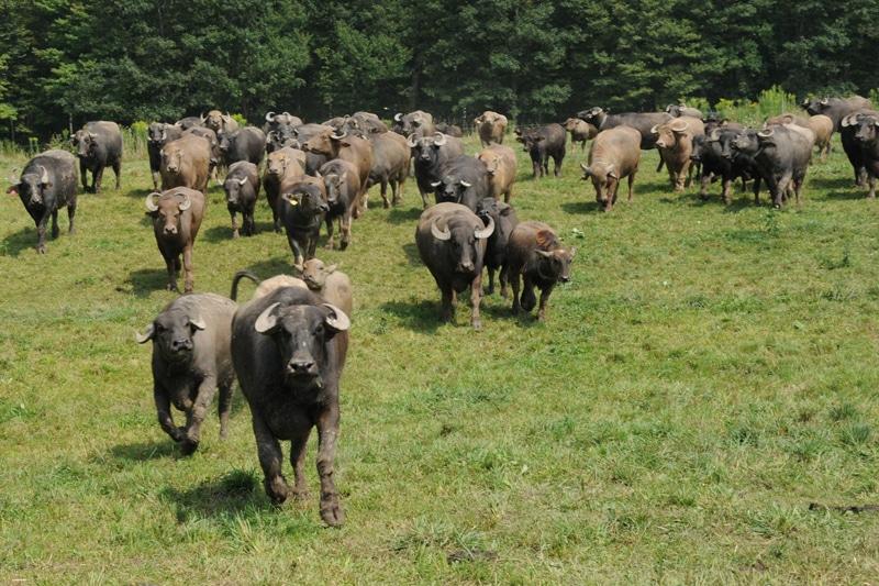 buffalo - Στη χώρα των βουβαλιών