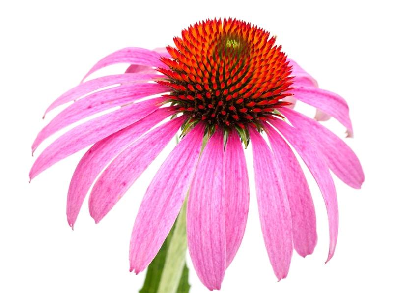 echinacea-kryologima-Kρυολόγημα και γρίπη; Η φυσική απάντηση είναι echinacea