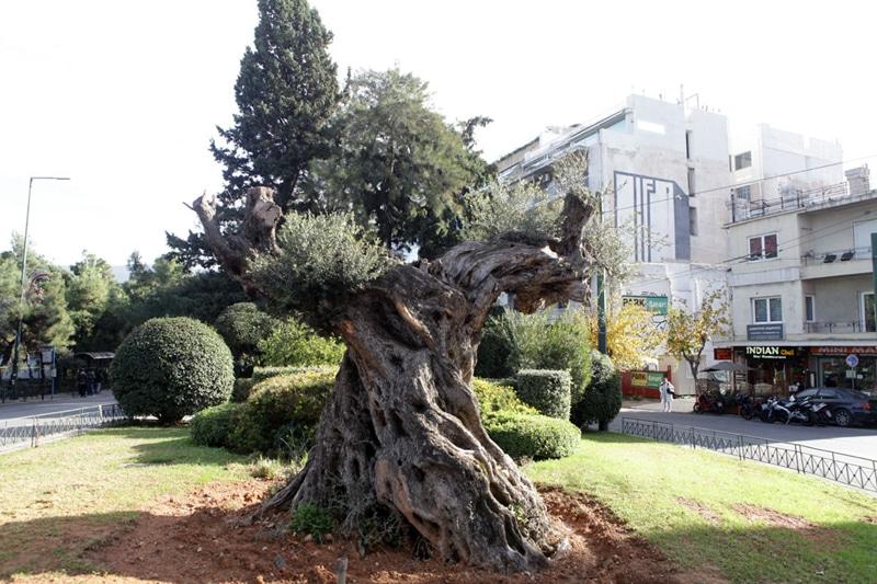 Υπεραιωνόβιες ελιές «μετακόμισαν» στην Αθήνα