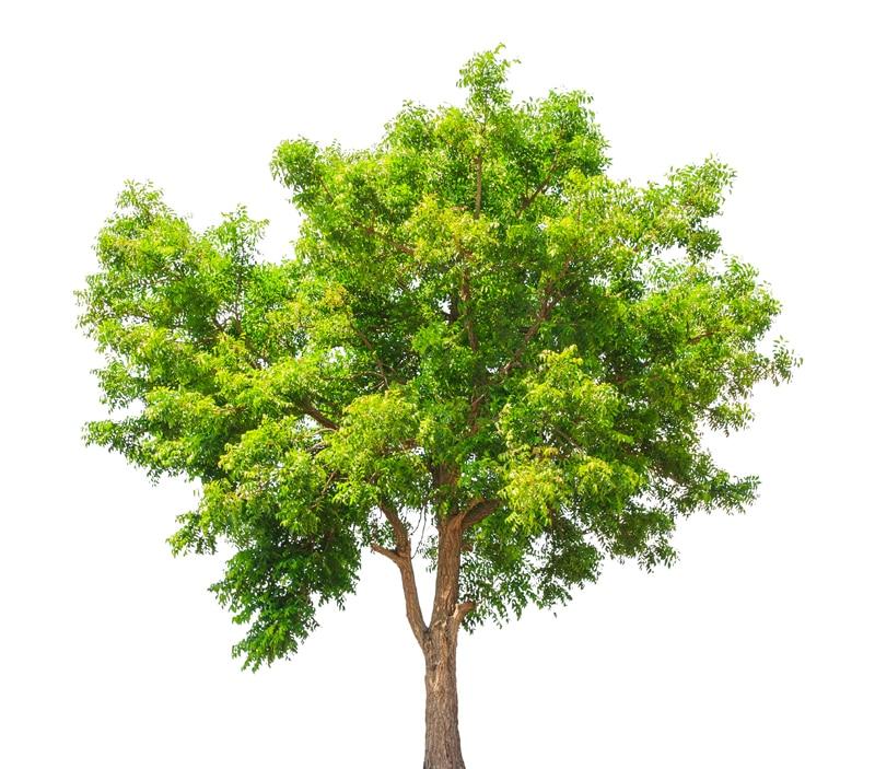 neem-tree-Neem: Ίαμα υγείας και ομορφιάς
