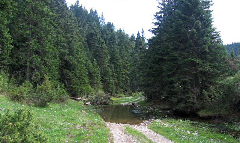 Abies_cephalonica_forest_Petrouli-Forests for people