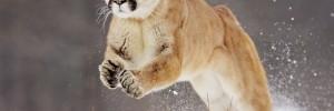 jumping_cougar