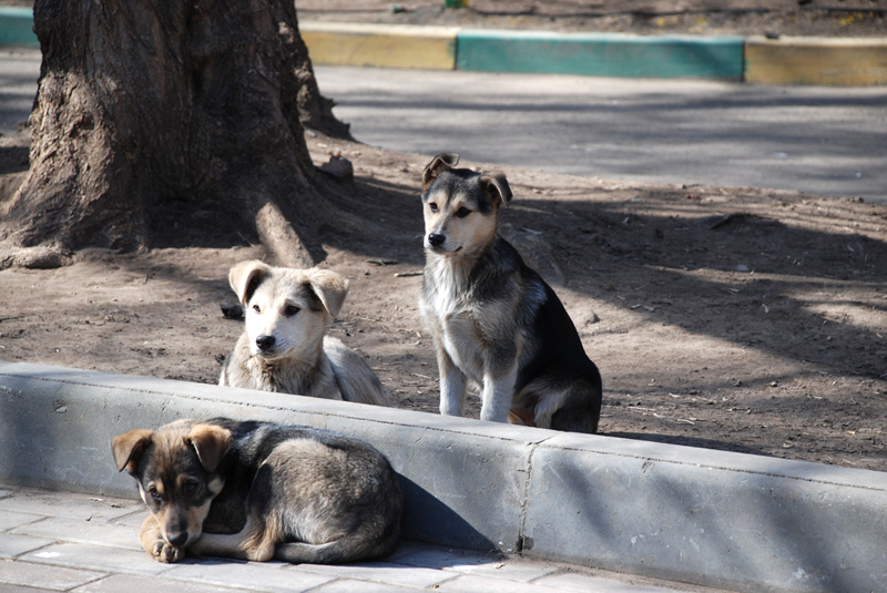 Stray_dogs-pups