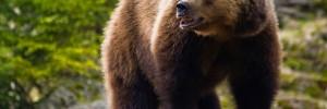 bear-kallisto-life-arktos-kastoria