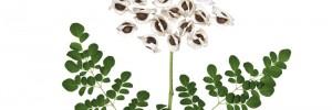NaturaNrg#78-Moringa oleifera