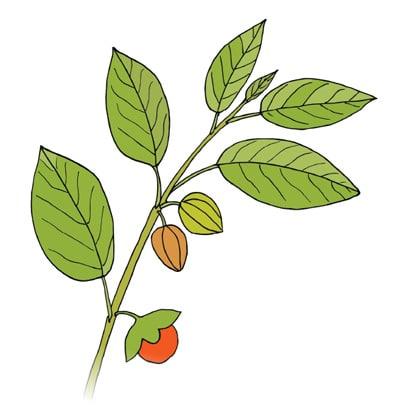 NaturaNrg#79-votana-ashwagandha-Στρες. Μάγισσες, φέρτε βότανα!