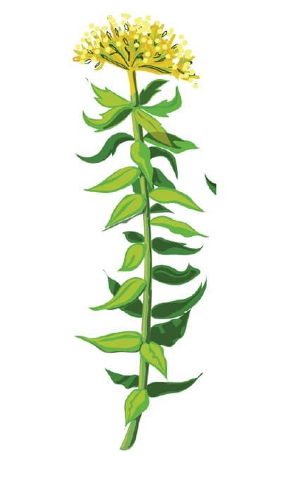 NaturaNrg#79-votana-rhodiola-Στρες. Μάγισσες, φέρτε βότανα!