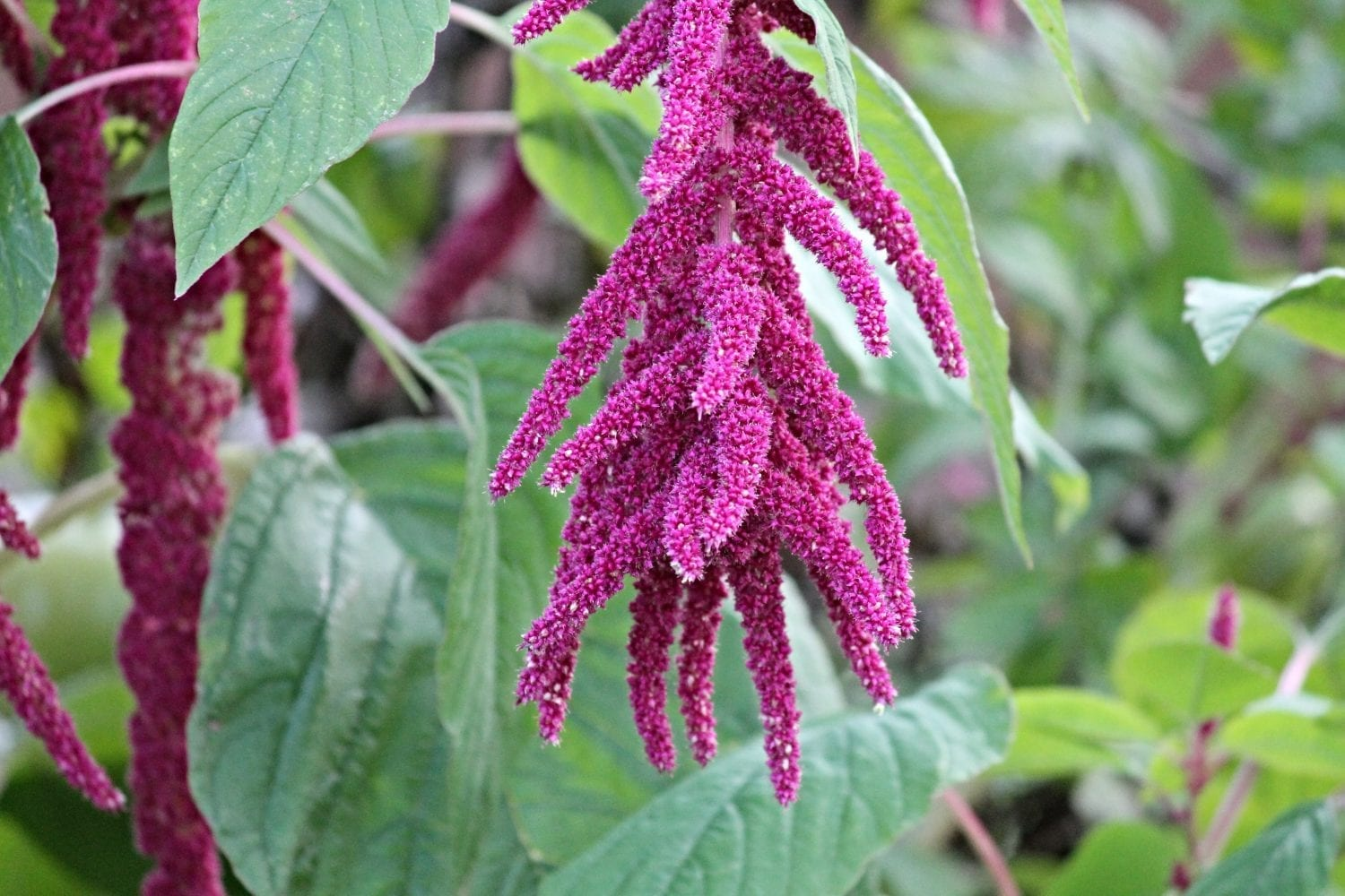 Amaranth-Naturanrg-01-photo.jpeg