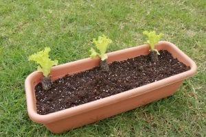 Πώς να φυτέψετε μαρούλια σε γλάστρες