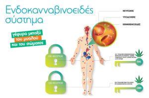 Ενδοκανναβινοειδές σύστημα: γέφυρα μεταξύ του μυαλού και του σώματος