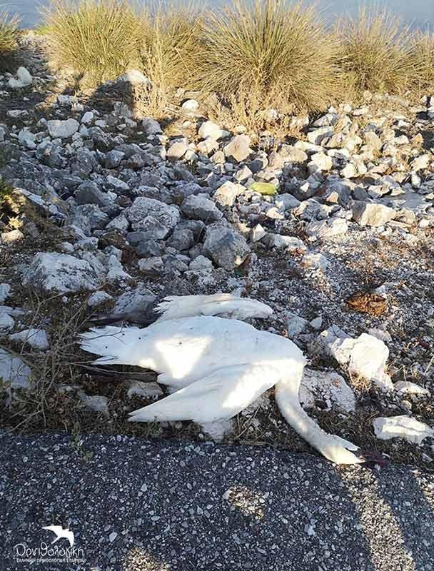 Παγίδα θανάτου για τους Αργυροπελεκάνους τα καλώδια